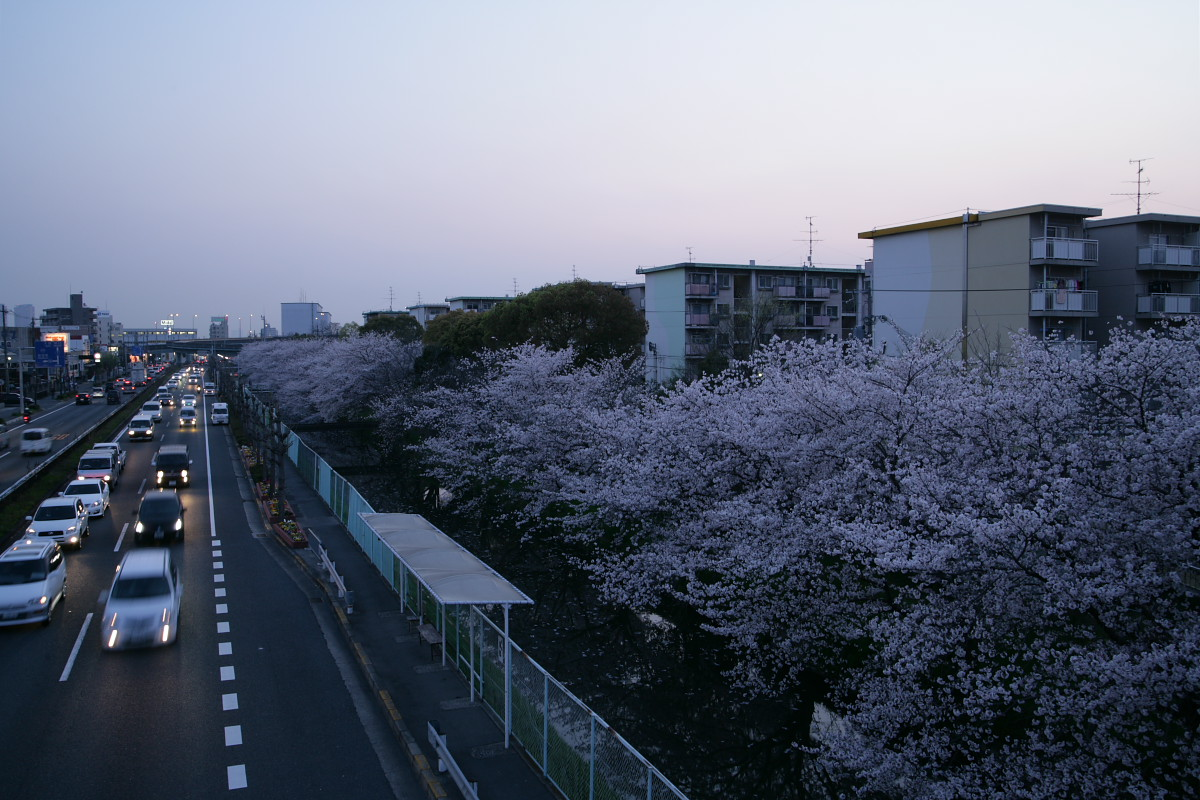 ご近所桜 満開のころ_f0021869_22532651.jpg
