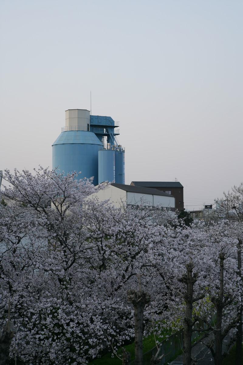 ご近所桜 満開のころ_f0021869_22541081.jpg