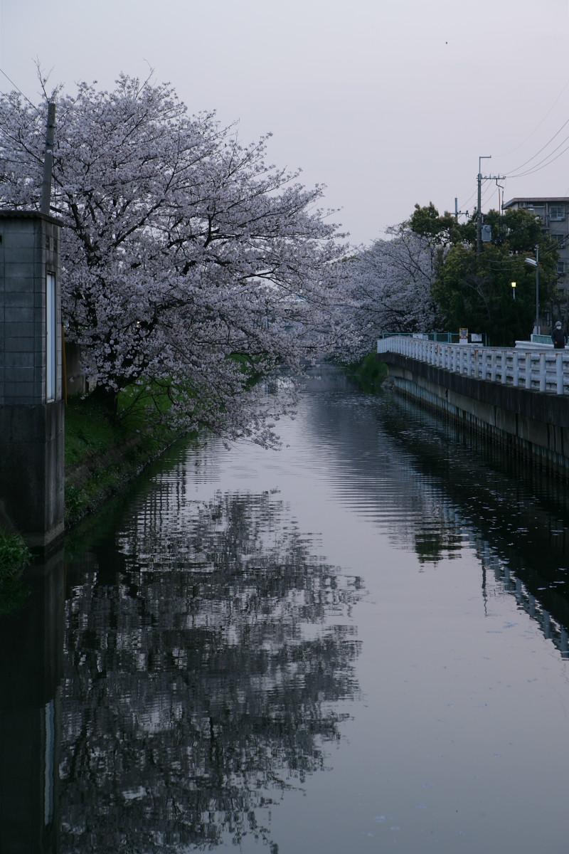 ご近所桜 満開のころ_f0021869_22544366.jpg