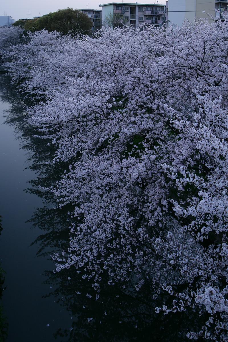 ご近所桜 満開のころ_f0021869_22551017.jpg