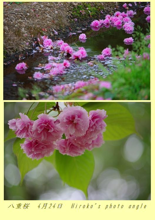 名残桜_d0147812_17115170.jpg