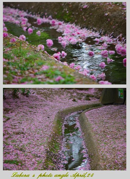 名残桜_d0147812_17121351.jpg