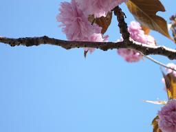 鯉のぼり、八重桜。_e0164724_011266.jpg