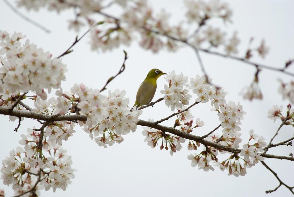 桜メジロ_f0148627_18305550.jpg