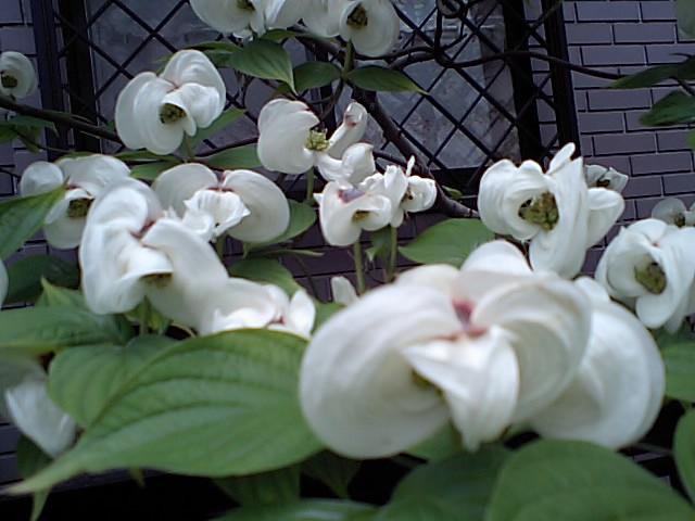 相続税の物納、そして白の花水木_d0054704_1583772.jpg