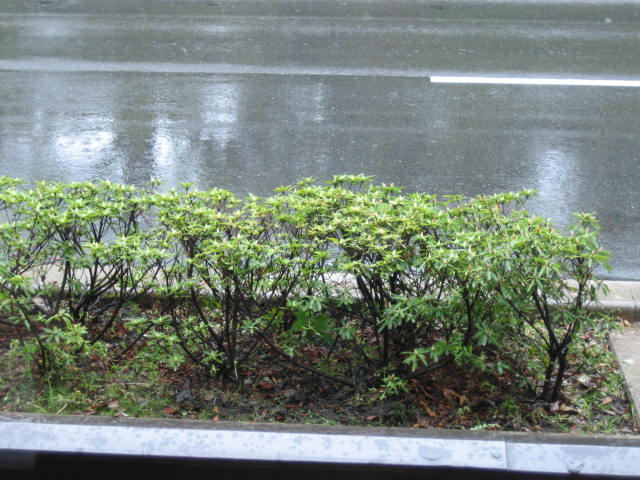 お店の前の舗道のつつじ・新緑の御所。_f0181251_16581698.jpg