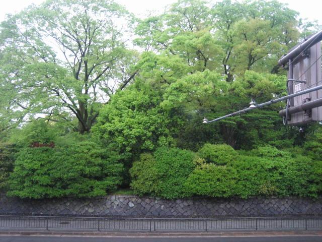 お店の前の舗道のつつじ・新緑の御所。_f0181251_1714889.jpg
