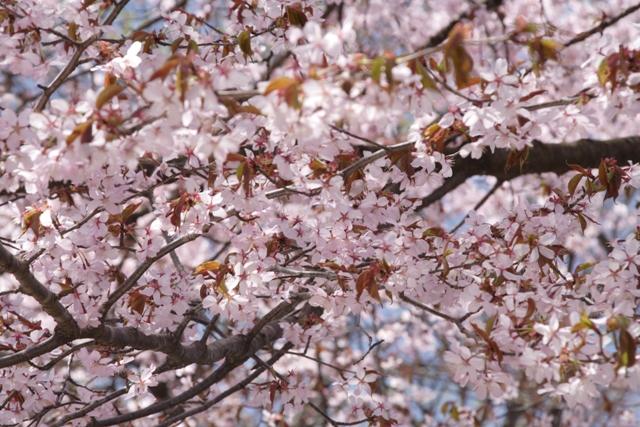 山桜_f0091207_16514812.jpg