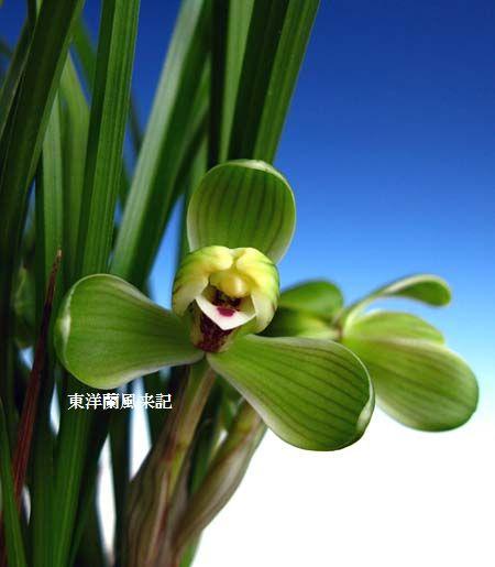 中国春蘭「賀神梅」                   No.578_d0103457_0393568.jpg