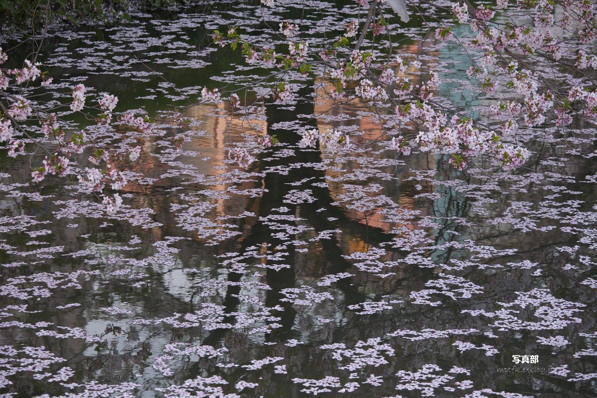 ご近所桜 散り初めしころ  1_f0021869_21584725.jpg