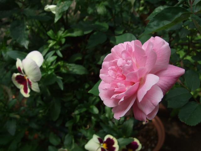 オークリーフ(オールドブランシュ咲きました。)_f0049672_10172530.jpg