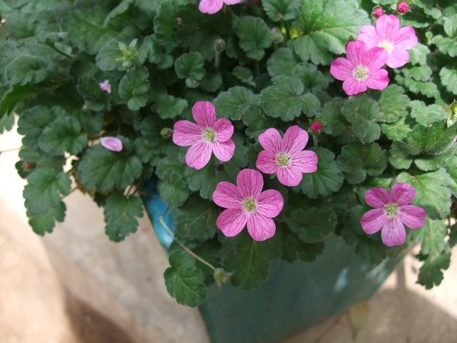 オークリーフ(オールドブランシュ咲きました。)_f0049672_10461336.jpg