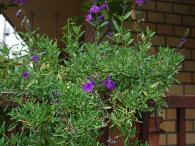 オークリーフ(オールドブランシュ咲きました。)_f0049672_10462677.jpg