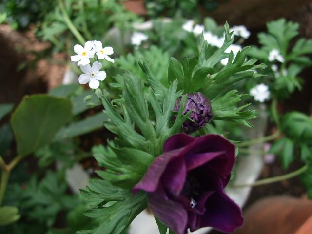 オークリーフ(オールドブランシュ咲きました。)_f0049672_10465276.jpg