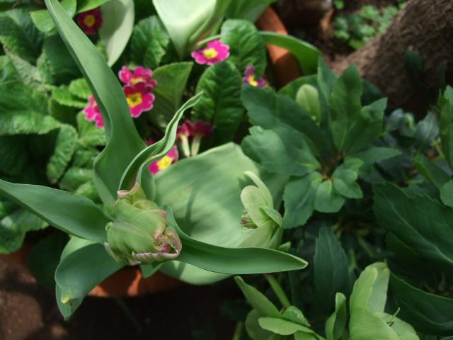 オークリーフ(オールドブランシュ咲きました。)_f0049672_1047921.jpg