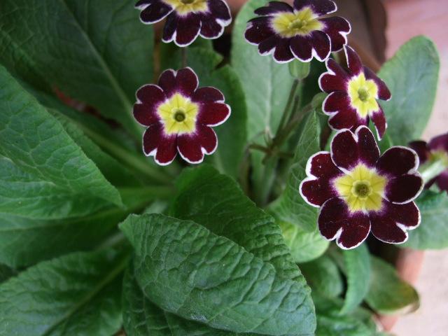オークリーフ(オールドブランシュ咲きました。)_f0049672_105225100.jpg