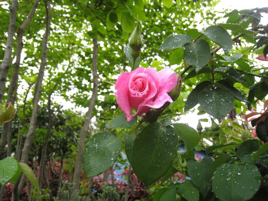 バラが咲いた_a0107574_915828.jpg