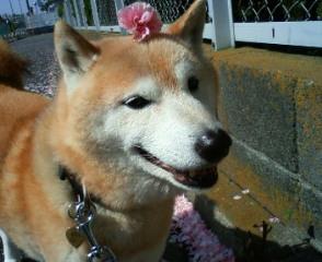 八重桜_b0011075_1281082.jpg