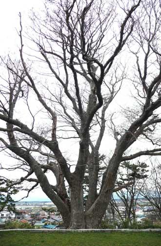 能代公園の木々_f0150893_12474637.jpg