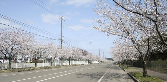 今春は不調な桜_e0054299_13555750.jpg