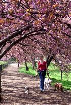 セントラルパークの穴場スポット Wildlife Corridor (桜のトンネル編)_b0007805_12531345.jpg