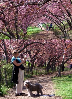 セントラルパークの穴場スポット Wildlife Corridor (桜のトンネル編)_b0007805_12533716.jpg
