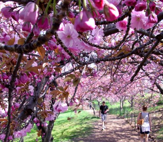 セントラルパークの穴場スポット Wildlife Corridor (桜のトンネル編)_b0007805_13222371.jpg