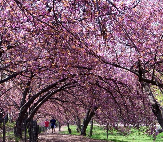 セントラルパークの穴場スポット Wildlife Corridor (桜のトンネル編)_b0007805_13225374.jpg
