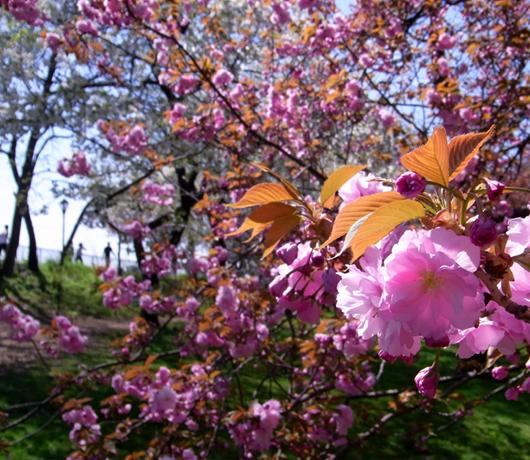 セントラルパークの穴場スポット Wildlife Corridor (桜のトンネル編)_b0007805_13232631.jpg