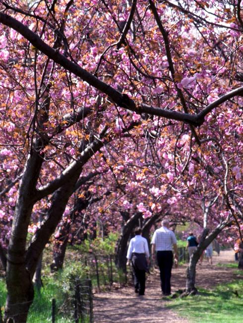 セントラルパークの穴場スポット Wildlife Corridor (桜のトンネル編)_b0007805_1324344.jpg