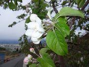 林檎の花_b0102572_10152596.jpg