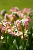 tulip tulip tulip_a0107981_22343314.jpg