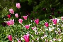 tulip tulip tulip_a0107981_22393710.jpg