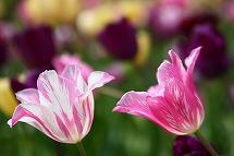 tulip tulip tulip_a0107981_22398100.jpg