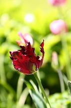 tulip tulip tulip_a0107981_22401836.jpg