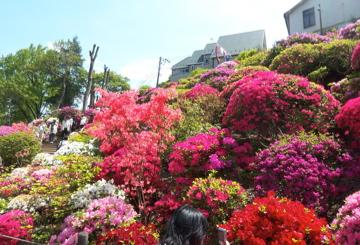 根津神社のツツジ/上野東照宮の牡丹_c0180686_1533976.jpg
