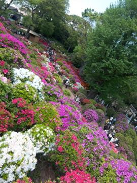 根津神社のツツジ/上野東照宮の牡丹_c0180686_1563888.jpg