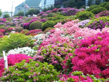 根津神社のツツジ/上野東照宮の牡丹_c0180686_1574744.jpg