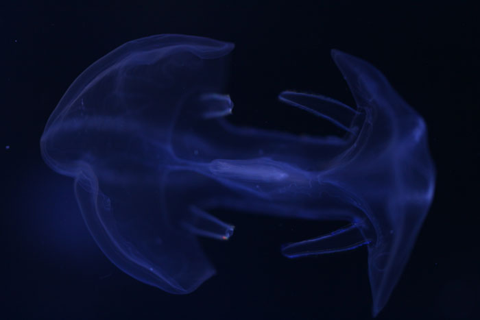 クラゲの画像 p1_23