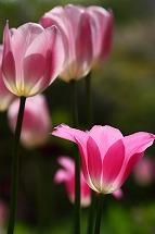 tulip tulip tulip_a0107981_2562129.jpg