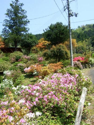 /// 朝野家庭園-瑞宝園ツツジ700本5分咲きになりました(4/29) 連休には満開になりそうです。 ///_f0112434_15402896.jpg