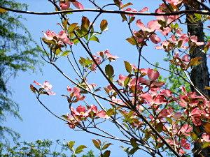/// 朝野家庭園-瑞宝園ツツジ700本5分咲きになりました(4/29) 連休には満開になりそうです。 ///_f0112434_15415643.jpg