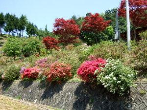 /// 朝野家庭園-瑞宝園ツツジ700本5分咲きになりました(4/29) 連休には満開になりそうです。 ///_f0112434_15431248.jpg