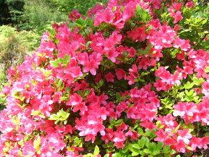 /// 朝野家庭園-瑞宝園ツツジ700本5分咲きになりました(4/29) 連休には満開になりそうです。 ///_f0112434_15444072.jpg