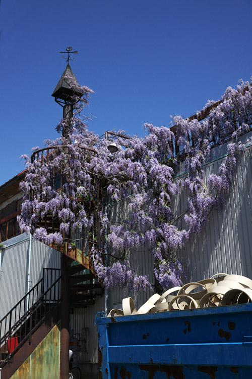 今日は珍しい場所に咲いている藤の花を見つけました_a0003746_16264640.jpg