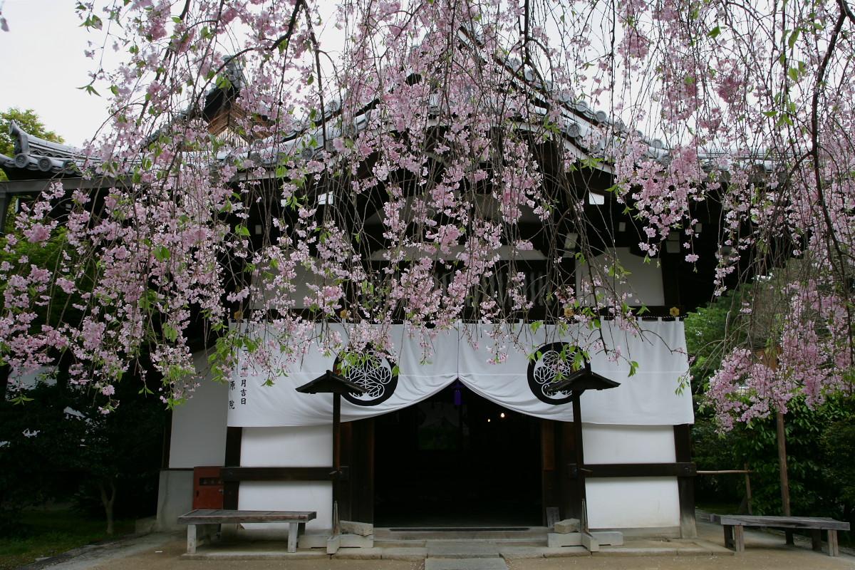 養源院 枝垂れ桜 2_f0021869_22551380.jpg