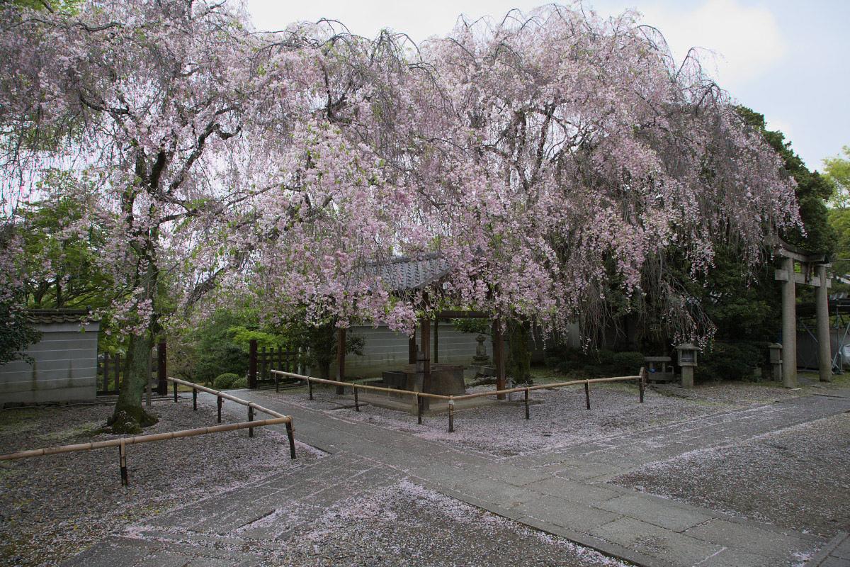 養源院 枝垂れ桜 2_f0021869_22581357.jpg