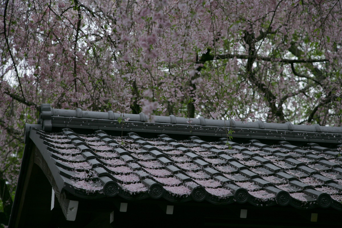 養源院 枝垂れ桜 2_f0021869_2303078.jpg