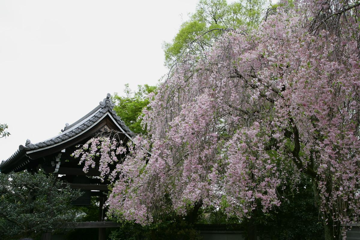 養源院 枝垂れ桜 2_f0021869_2305967.jpg
