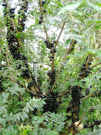 ジャボチカバの果実, jaboticaba fruit